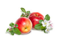 Red apples and apple blossoms Stock Images
