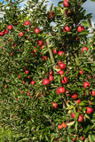 Red apples in an apple plantation. Red ripe apples growing in an apple plantation in late summer Royalty Free Stock Images