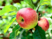 Red apples on an apple tree Stock Photo