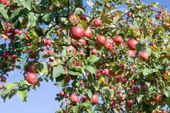 Red apples on a apple-tree royalty free stock photography
