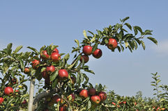 Red apples on apple tree Stock Photos