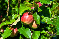 Red apples in an apple tree Royalty Free Stock Photography