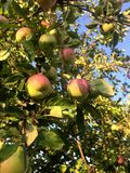Red apples on apple tree branch. Garden summer plant green color fresh leaf natural nature farm autumn orchard texture agricultural agriculture bunch copy crop stock images
