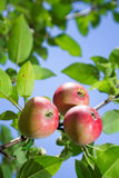 Red apples on an apple-tree branch Royalty Free Stock Image