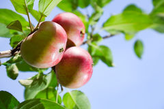Red apples on an apple-tree branch Stock Images