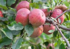 Red apples on apple tree branch. Photo of some red apples on apple tree branch Royalty Free Stock Photography