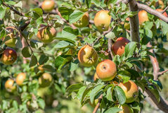 Red apples on apple tree Royalty Free Stock Images