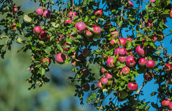 Red apples on apple tree branch in the garden Stock Photos