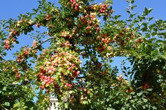 Red apples on apple tree branch, gardening, harvesting. Autumn time season royalty free stock photos