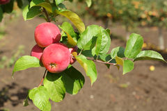 Red apples on apple tree branch with green leaves. Stock Photo