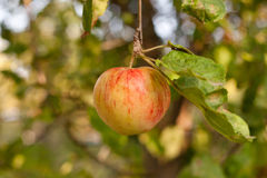Red apples on apple tree branch. Horizontal, close up Royalty Free Stock Photography