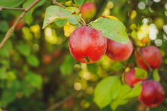 Red apples on apple tree branch. Organic red apples on a branch ready to be harvested Stock Photos