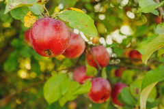 Red apples on apple tree branch. Organic red apples on a branch ready to be harvested royalty free stock photography
