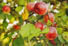 Red apples on apple tree branch. Organic red apples on a branch ready to be harvested stock images