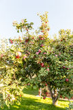 Red apples on apple tree branch ready to be harvested Royalty Free Stock Photography