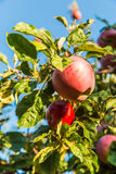 Red apples on apple tree branch ready to be harvested Stock Photo