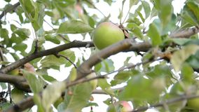 Red apples on apple tree branch stock video footage