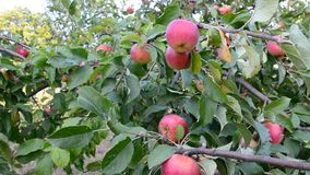 Red apples on apple tree branch stock footage