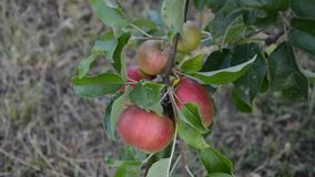 Red apples on apple tree branch stock video