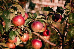 Red apples on apple tree branch Royalty Free Stock Image