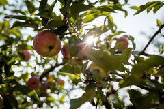 Red apples on apple tree branch. With sun Stock Image
