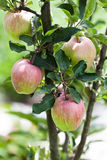 Red apples on apple tree branch, sunny day orchard scene. Farmers food concept. soft focus. shallow depth of field Royalty Free Stock Photos