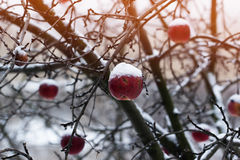 Red apples on an apple-tree covered with snow Royalty Free Stock Photo