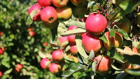Red apples in apple trees