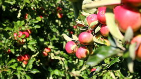Red apples in apple trees stock footage
