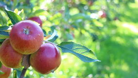 Red apples in apple trees stock video footage