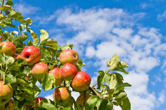 Red apples in autumn Royalty Free Stock Image