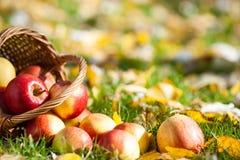 Red apples in autumn garden Stock Photo