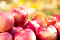 Red apples in autumn garden Royalty Free Stock Images