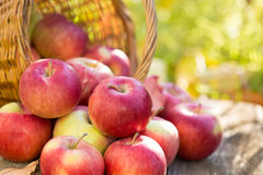 Red apples in autumn garden Stock Images