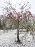 Red apples on bald tree in snowy winter field scenery. Leafless apple tree with a cluster of red apples still hanging on the branches, bringing color into the stock photography