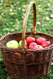 Red apples in the basket. Old basket full of red apples in the garden Stock Photography