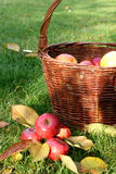 Red apples and basket. Red apples laying in the green grass and old basket full of apples Royalty Free Stock Photos