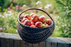Apples in a basket. Red apples in a basket stock photos