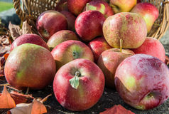 Red apples in a basket with autumn leaves. Front view royalty free stock image