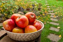 Red apples in the basket. In the garden stock photography
