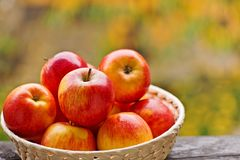 Red apples in the basket. In garden royalty free stock image