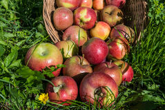 Red apples in a basket on the grass. royalty free stock photo