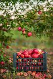 Red apples in baskets and boxes on the green grass in autumn orchard. Apple harvest and picking apples on farm in autumn stock photo