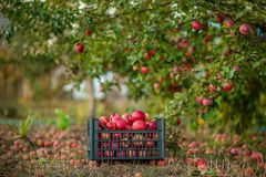 Red apples in baskets and boxes on the green grass in autumn orchard. Apple harvest and picking apples on farm in autumn royalty free stock image