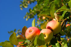 Red apples on blue sky stock images