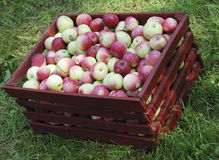 Red apples in box. Red and yellow apples in big red box Stock Photos