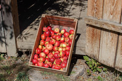 Red apples in a box. Freshly picked red apples in a wooden crate Stock Image