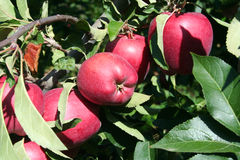 Red apples on branch Royalty Free Stock Photography