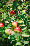 Red Apples on a Branch Stock Photos