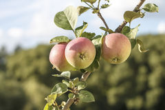 Red apples on a branch against the sky Stock Image